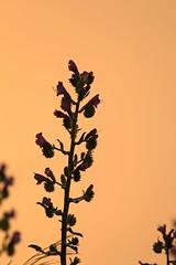 Echium.sp (Derbyshire Harrier) Tags: volcano evening spring mediterranean dusk wildflower stromboli aeolianislands 2016 vipersbugloss echiumsp