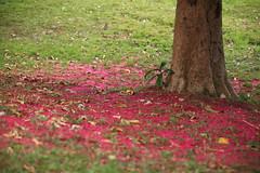 Colourful leaves (iorus and bela) Tags: cuba lakes may palmtrees 2016 lasterrazas meimeivakantie