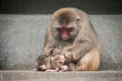 2016-06-22-16h17m42.BL7R2072 (A.J. Haverkamp) Tags: canonef100400mmf4556lisiiusmlens amsterdam zoo dierentuin httpwwwartisnl artis thenetherlands japansemakaak japanesemacaque dob09062016 pobamsterdamthenetherlands