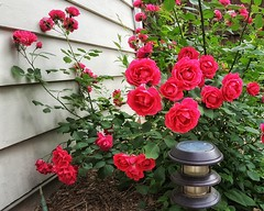 Bountiful Roses (Flickr Goot) Tags: flowers roses june project 365 2016 project365