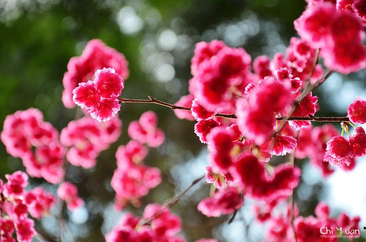 九族文化村櫻花祭-日09.jpg