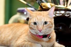 """K, ENUFF PICHUREZ OREDI. NAO BOUT DAT TUNA U PROMISD ME."" (stratman² (busy-taking care of Joey)) Tags: oreengenesses canonefs60mmf28macrousm kissablekat kittysuperstar gingercats animalplanet catmoments kittyschoice kittehs cats orangecats kittens littlejoey canonphotography thebiggestgroupwithonlycats cc100 eos450d friendsofzeusphoebe dfp 猫 cute katzen kitteh chat kucing comel feline cat oreengeness ginger creativecommons"