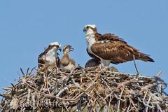 Growing Fast (Andy Morffew) Tags: family nest florida osprey marcoisland tigertailbeach specanimal naturethroughthelens andymorffew morffew