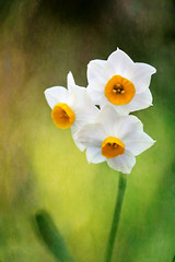 Narcissus (tanakawho) Tags: white plant flower yellow leaf spring stem layer postproduction narcissus treatment tanakawho pareeerica skeletalmess