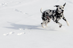 My Shadow (Potter) and His Shadow (C-Dals) Tags: winter dog snow nikon dalmatian d5100