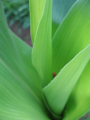 "corn and ladybug • <a style=""font-size:0.8em;"" href=""http://www.flickr.com/photos/75400798@N04/6787521966/"" target=""_blank"">View on Flickr</a>"