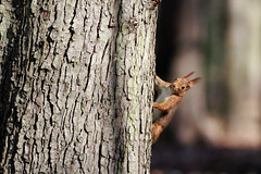 cureuil (madjpm) Tags: canon eos squirrel 7d f56 ardilla cureuil 400mm wow4