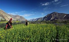 The Fertile Land of Nubra Valley (Sayid Budhi) Tags: india mountains farm farming himalaya jk ladakh nubravalley sarson hunder disket northindia hundar travelphotography jammuandkashmir landscapephotography diskit deskit mustardfields sarsonkasaag northladakh