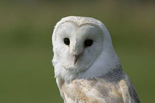 Barn Owl | Animal Facts | Nottinghamshire Wildlife Trust