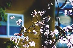 Spring comes II (thisisforlovers) Tags: flower tree bird primavera spring bokeh flor árbol cherrytree pájaro cerezo tamron18200 springcomes thisisforlovers andreadorantes