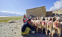 Shepherd. (Prabhu B Doss) Tags: travel portrait india lake landscape photography high nikon sheep shepherd plateau altitude buddhism goats tibetan kashmir nomads ladakh jammu settlement tsomoriri changthang livelihood prabhub prabhubdoss d7000 zerommphotography 0mmphotography