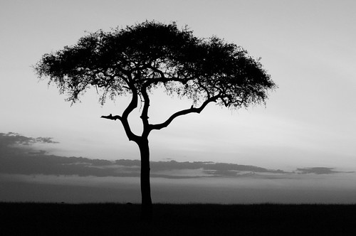 sunset safari masaimara acaciatree maranaboishoconservancy encountermara