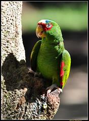 Red-Lored Parrot (dralun10) Tags: birds parrot honduras redloredparrot mygearandme mygearandmepremium peregrino27life allofnatureswildlifelevel1