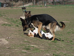 I am tougher than I look (Andrea and Gauss) Tags: dog playing beagle play germanshepard