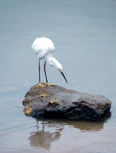 California Egret