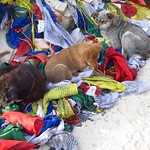 "Dogs with Prayer Flags at Swayambhu <a style=""margin-left:10px; font-size:0.8em;"" href=""http://www.flickr.com/photos/14315427@N00/6839964876/"" target=""_blank"">@flickr</a>"