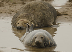 Grey seals Donna nook (ocean_prowler-GY) Tags: mating greyseal donnanook bullseal