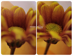 366 project | 80/366 (@agirafinha) Tags: flowers autumn flores macro smile project franklin outono kirk 366 i
