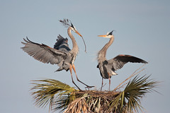 Nest Building (Bill'sLIPhotos) Tags: building tree heron nature canon eos couple nest florida action wildlife january melbourne palm wetlands fl mates greatblueheron avian 2012 nesting xsi viera ardeaherodias 100400 ef100400l 450d slbnesting birdperfect