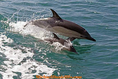 Common Dolphin & Calf surfing in the Mediterranean Sea (MichaelDanielHo) Tags: surfing dolphins common calf