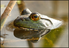 The Eyes have it! (MurrayH77) Tags: nature john wildlife frog heinz bullfrog nwr autofocus physis