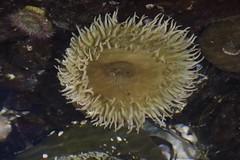 Sea Anemone (Kadacat (Marlene)) Tags: green beach raw sealife lowtide seaanemone pacificrimnationalpark canon40d kadacat