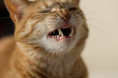 Let's Laugh! (K16mix) Tags: pet cats pets cute animal animals cat flickr pentax   k5 redtabby   gettyimagesjapan12q1