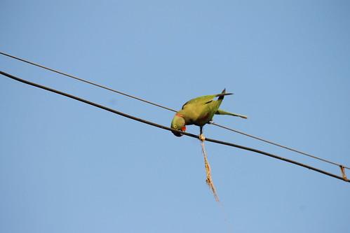a Parrot ...
