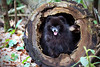 Little Bear In The Log (Seth Berry Photography) Tags: bear dog black mountains cute tongue cub log hole small adorable tiny pomeranian