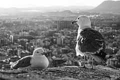 (Dani Bravo [Els somnis de Bravo]) Tags: santa bw white black como blanco y seagull negro son super mama bn alicante barbara papa gaviotas gaviota castillo bebes pajarracos siniestras gritan