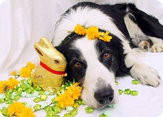14/52 Happy Easter! (meg price) Tags: flowers dog pet rabbit easter stars spring collie chocolate sheepdog border bordercollie barney thelittledoglaughed 52weeksfordogs ldlportraits