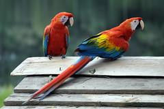 Marasha Macaws (Oliver J Davis Photography (ollygringo)) Tags: travel bird peru southamerica nature animals forest amazon nikon wildlife parrot jungle tropical macaw tropics loro amazonas d90 amazonriver marasha latinaamerica