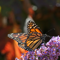 Happy Day (aokcreation - off) Tags: flower color macro nature animal closeup butterfly garden insect botanical blossom bokeh wildlife ngc monarch naturesfinest bej beautifulexpression anawesomeshot sony350 awesomeblossoms paololivornosfriends blinkagain