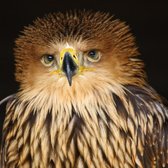 Does my hair look good? (gwiwer) Tags: bird square eifel tierpark birdofprey vogel hellenthal wildpark wildgehege greifvogel wildfreigehege greifvogelstation