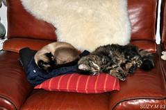 UN FAUTEUIL POUR DEUX !!!.....kikou elyos (SUZY.M 83) Tags: france nature chats suzy animaux toulon amitis nikond90