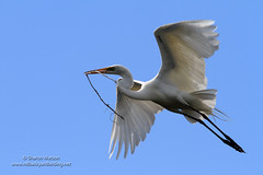 Great Egret (Ardea alba) (Sharon's Bird Photos) Tags: summer lake nature minnesota flickr wildlife flight bluesky greategret 2012 nesting bif ardeaalba specanimal beckercounty birdingbyboat exploredfebruary23