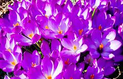 Crocus (Mal Urwin) Tags: flowers garden crocus mygardenschool