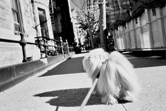 infrared (Charley Lhasa) Tags: leica city nyc newyorkcity urban dog ny newyork film 35mm walk manhattan scan neighborhood sidewalk infrared upperwestside mp ilford charley uws lhasaapso infraredfilter lti leicamp sfx200 ilfordsfx200 charleylhasa software:adobe=lightroom leicaelmaritm28mmf28asph file:original=jpeg digitalminilab lens:leica=2828 camera:leica=mp image:number=077515 date:uploaded=120302060649 filter:bw=092 roll:number=mp0014 folder:name=0775 set:name=lti326606 lti:scan=326606 set:name=mp0014