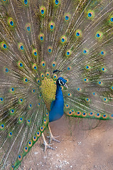 Week 9 - A Dancing Peacock (Abdul Qadir Memon ( http://abdulqadirmemon.com )) Tags: pakistan dancing manga peacock lahore abdul 2012 islamabad week9 qadir changa memon 52weeks changamanga project52 92012 522012 52weeksthe2012edition weekoffebruary26