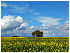 Tree in a sea of yellow! (macfudge1UK) Tags: uk england flower tree nature yellow spring flora europe farming scenic crop bloom oxfordshire 2012 oxon oilseed oilseedrape stantonharcourt brassicanapus allrightsreserved bbcspringwatch countryfile xs1 scenicsnotjustlandscapes naturethroughthelens blinkagain bestofblinkwinners rspblovesnature fujixs1 fujifilmxs1 fujifilmfinepixxs1 finepixxs1