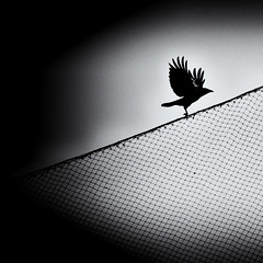Out of the dark, into the light (. Jianwei .) Tags: light sky white black bird leave net animal silhouette night vancouver fence dark fly wings wire mood sony atmosphere coquitlam 365 crow hitchcock falco   a500  jianwei kemily
