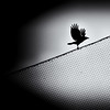 Out of the dark, into the light (. Jianwei .) Tags: light sky white black bird leave net animal silhouette night vancouver fence dark fly wings wire mood sony atmosphere coquitlam 365 crow hitchcock falco 剪影 鸟 a500 乌鸦 jianwei kemily