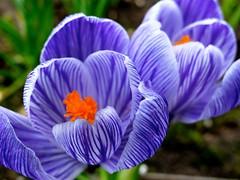 Crocus 2764 (bernard-paris) Tags: fleur crocus printemps