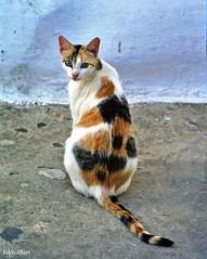 Poes - Lapjeskat (Eddy Allart) Tags: street cat spain kat chat gato katze poes spanje