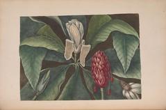 Anglų lietuvių žodynas. Žodis magnolia tripetala reiškia magnolija tripetala lietuviškai.