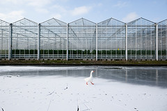 (Peter de Krom) Tags: winter ice goose gans westland greenhouses ijs kassen