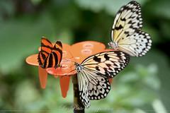 butterfly_15 (La Petite Rapporteuse (Laurie Dupuis)) Tags: color colors butterfly butterflies papillon color papillons