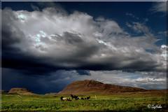 Horse Heaven - Remake (Sig Holm) Tags: horses horse cloud island iceland islandia sland islande icelandic sl sk islanda horsemountain hestar hestur borgarfjrur ijsland landslagsmyndir islanti  icelandiclandscape  hestfjall   slenskt slensktlandslag