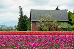 Living life in colors ... (Vishal Sood | photography) Tags: life pink red house color nature landscape ngc tulip dreamhouse mygearandme