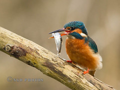 Kingfisher (Novisteel) Tags: birds spring wildlife kingfisher ngdphotos